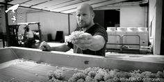 De la vigne au chai - reportage photo ! Chantegrive - harvest . sorting table - grapes