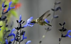 Hummingbird | Hummingbird flower Wallpapers Pictures Photos Images