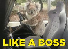Too blazed to be fazed‬. | A Koala Has Been Caught Trying To Steal A Car In Australia