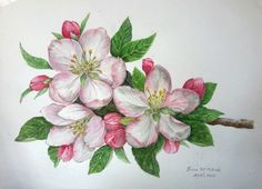 Apple blossoms in watercolor on 11 X 15 inches  paper