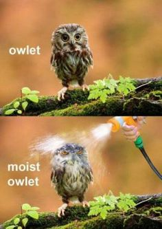Bird memes galore! We've chosen the best bird memes and compiled them all in one spot. We hope you enjoy the humor and cleverness of these selections.: Moist Owlet! I Laughed Out Loud!
