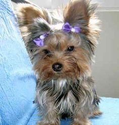 Love Yorkshire Terriers #DogObedienceTipsandAdvice