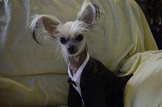Chinese Crested Breed Profile - Pets Adviser