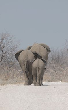 Elephants - Etosha by Anne - Photo 238739743 / Elephant Love, Elephant Art, African Elephant, African Animals, Elephant Photography, Animal Photography, Cute Baby Animals, Animals And Pets, Beautiful Creatures