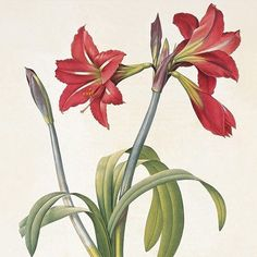 Amaryllis Brasiliensis Art Print by Pierre Redoute. All prints are professionally printed, packaged, and shipped within 3 - 4 business days. Vintage Botanical Prints, Botanical Art, Botanical Illustration, Fire Flower, Flower Art, Red Flowers, Colorful Flowers, Flower Colors, Amaryllis Tattoo
