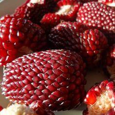 Corn - Crimson Popcorn Seeds NZ - LovePlantLife Seeds | LovePlantLife Seeds