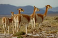 Vicuñas.   The vicuña or vicugna is one of two wild South American camelids which live in the high alpine areas of the Andes, the other being the guanaco. Wikipedia