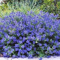 Flowering Shrubs late summer early fall~ bhg.com Excellent site season by season shrub color