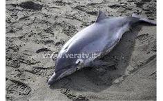 VeraTV Pineto - Trovato morto delfino di tre metri sulla spiaggia
