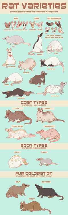Guide to Fancy Rats by ~MeowingPenis on deviantART