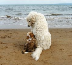 Great Pyrenees with puppy, they are so good with other animals. Giant dogs with giant hearts.and huge amounts of love. Animals And Pets, Baby Animals, Funny Animals, Cute Animals, Funny Dogs, Cute Puppies, Dogs And Puppies, Puppies Tips, Fluffy Puppies