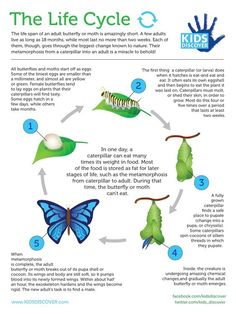 A butterfly& metamorphosis from a caterpillar into an adult is a miracle to behold! Learn all about the life cycle in this informative infographic, perfect for your classroom curriculum. Science Lessons, Science For Kids, Science Activities, Life Science, Butterfly Kids, Butterfly Life Cycle, Butterfly Crafts, Butterfly Information, Butterfly Metamorphosis