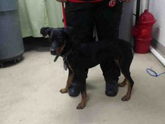 09/06/15-HOUSTON - This DOG - ID#A441384 I am a female, black and tan Rottweiler mix. My age is unknown. I have been at the shelter since Aug 25, 2015. This information was refreshed 45 minutes ago and may not represent all of the animals at the Harris County Public Health and Environmental Services.