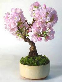 Japanese Flowering Cherry - Prunus Serrulata - 5 Seeds - Bonsai Tree - Beautiful Bonsai in the Other Gardening & Plants category was sold for on 29 Feb at by Seeds for Africa in Cape Town Flowering Bonsai Tree, Bonsai Plants, Houseplant, Bonsai Meaning, Cherry Bonsai, Bonsai Seeds, Tree Seeds, Mame Bonsai, Miniature Trees