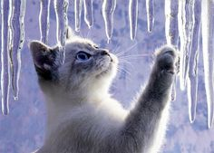 "cadescha: ""Cat with Icicles """