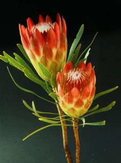 protea-protea are lager focal flowers.they are rounded with colorful bracts in a variety of colors.