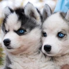 Husky | Cutearoo | Puppies, Kittens, Baby Animals, Cute Pictures & Videos: Animals, Husky Pups, Dogs, Pets, Puppys, Siberian Huskies, Huskies Puppies, Husky Puppies