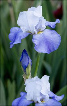 Iris 19 Photograph by Howard Knauer Flowers In Hair, Spring Flowers, Blue Flowers, Flor Magnolia, Iris Painting, Blossom Garden, Love Garden, Botanical Drawings, Flower Photos