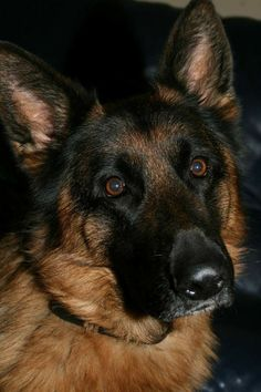 German Shepherd Puppies, German Shepherds, Big Dogs, Cute Dogs, Dog Pond, Dog Body Language, Schaefer, Herding Dogs, Belgian Malinois