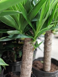 Learn all about how to care for a yucca plant, including tips for indoor and outdoor yucca care, as well as how to propagate this beautiful plant! Yucca Plant Indoor, Yucca Plant Care, Snake Plant Care, Indoor Plants, Yucca Tree, Desert Environment, Pothos Plant, Indoor Trees, Compost