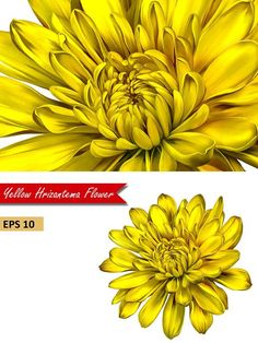 """Beautiful yellow chrysanthemum flower isolated on white background. Vector illustration This is an auto traced image, perfected and corrected to have no """"holes"""" Yellow Chrysanthemum, Chrysanthemum Tattoo, Yellow Flower Tattoos, Yellow Flowers, Spring Flowers, Notebook Cover Design, Standard Image, Parking Design, Birth Flowers"""