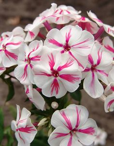 Phlox 'Twister' - Bright pink stripes on pure white blooms make this Phlox a standout choice for your sunny spot. Zones 4-8