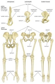 Comparison of the pelvis and lower limbs of a chimpanzee, an australopith, and a modern human. Biological Anthropology, Forensic Anthropology, Human Evolution, Forensic Science, Early Humans, Chimpanzee, Anatomy And Physiology, Forensics, Human Anatomy