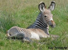 She may be only three-weeks old but a rare baby zebra born at ZSL Whipsnade Zoo is already making her mom earn her racing stripes. The as-yet-unnamed Grevy's Zebra, born on July can be spotted giving mother Henna the. Newborn Animals, Baby Animals, Cute Animals, Animal Babies, Wild Animals, Zebra Pictures, Cute Animal Pictures, Baby Rhino, Baby Elephant
