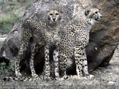 Argentinean scientists have successfully produced embryos of endangered species such as Asiatic cheetah, tiger and Bengal cat using frozen skin cells. Asiatic Cheetah, Stem Cells, Endangered Species, Big Cats, Frozen, Wild Animals, News, Science, Wild Ones