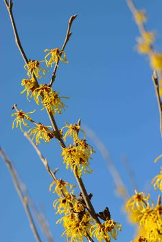 The yellow, spidery blooms of the 'Arnold Promise' Witch Hazel Landscape Design, Garden Design, Witch Hazel, Spring Blooms, Gardening, Yellow, Plants, Landscape Designs, Lawn And Garden