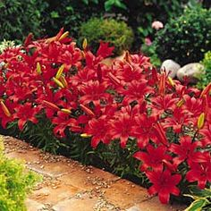 Red Carpet Border Lilies - planted in front of house