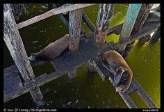 California sea lions rest under the pier. Santa Cruz, California, USA