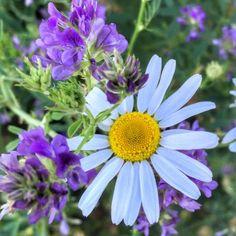 Daisy Again. Taken by Alison Pentland. Photo Series, Get Outside, Nature Photos, Faeries, Wild Flowers, Flora, Daisy, Plants, Instagram
