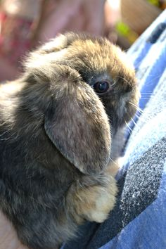 Holland lop Bunny - pure sweetness