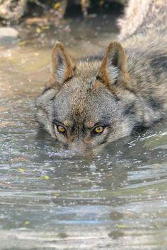 I see u - wolf