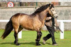 Connemara stallion Clegganbay Tower