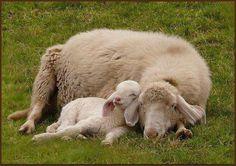 Ewe with her lamb