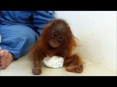 This Orangutan Was Ripped From Her Mother To Be A Pet