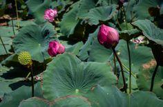 Fleurs de lotus dans la douve de la cité impériale de Hué