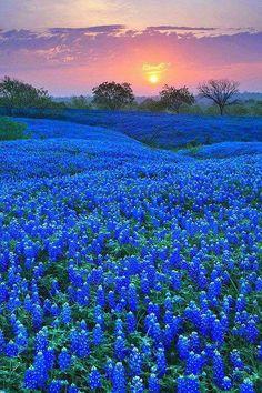 Campos azules en Texas
