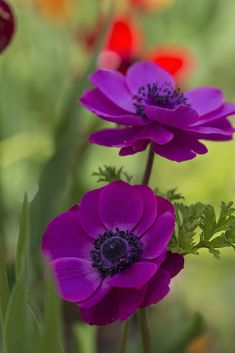 PURPLE ANEMONE - Getting married in March? See our seasonal flowers board for a full list of flowers that are available for florists to buy in March for a Spring wedding. Whether you are planning a romantic, wild and natural bouquet or bright and vibrant table centrepieces - our month by month boards cover every possibility for every month be it Winter, Autumn or Summer! xx