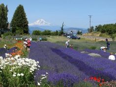 Lovely location - Review of Hood River Lavender, Hood River, OR - TripAdvisor Thank you for sharing your stunning photo and for visiting our lavender farm! #hoodriverlavenderfarm #organic #hoodriver #fruitloop #traveloregon #exploreoregon #farm #fleur #flower #lavender #lavenderfarm #outside #mtadams #pnw