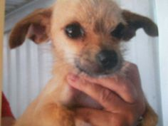 TILLIE <3 Terrier & Chihuahua Mix • Young • Female • Small. Spayed • Shots Current. PROUD (Pet Rescue of Unwanted Dogs) Kingsburg, CA.