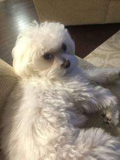 Maltese Dog Don't even think about putting that bow on my head. Havanese Puppies, Maltese Dogs, Cute Puppies, Cute Dogs, Dogs And Puppies, Doggies, Bear Dogs, Bichon Dog, Teacup Maltese