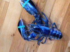 Jay LaPlante with the Miss Meghan's Lobster Catch company caught a blue lobster around 10:45 a.m. ET Saturday (8/23/2014) off Pine Point here, about 10 miles southwest of Portland, Maine.