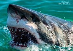 Orcas, Different Types Of Sharks, Species Of Sharks, Shark Tale, Shark Photos, Megalodon, Underwater Life, Great White Shark, Shark Week