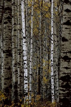 A Stand Of Birch Trees Photograph  - A Stand Of Birch Trees Fine Art Print