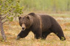 A bear hunt in the Russian outback with experienced outfitter