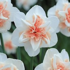 """Meadow Valley """"Pink Daffodil"""" 25-piece Daffodil Bulb Collection"""