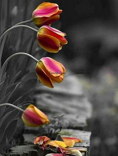 (notitle) – Nihal Alıcı Demirkan – Join the world of pin Black And White Flowers, Black And White Colour, Black And White Pictures, Splash Photography, Color Photography, Tulips Flowers, Pretty Flowers, One Color, Color Pop